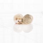 ハリネズミの値段|飼う、飼育セット、エサ、寿命
