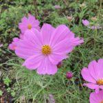 農業園芸センター仙台|ハロウィンイベント|バラとコスモス